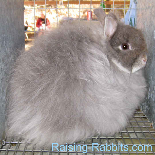 Jersey Wooly Rabbits
